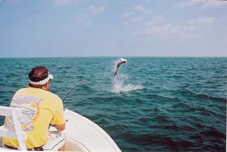 giant tarpon jumping in Florida